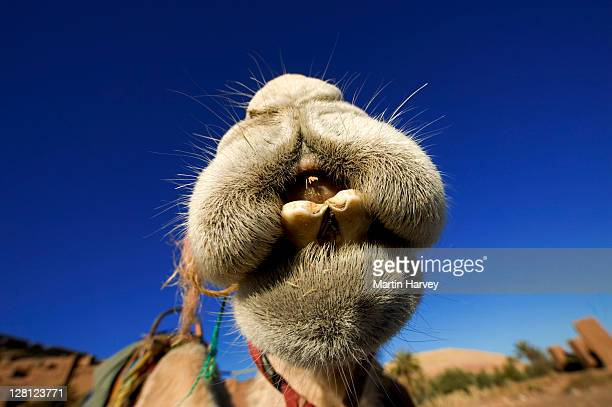 Camel (Camelus dromedaries) The one-hump dromedary also known as the Arabian camel, Sahara desert, Morocco, North Africa