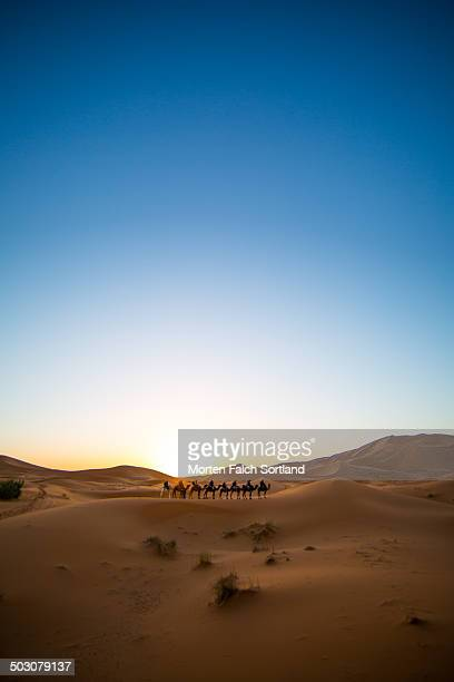 Camel Tourism at Sunrise