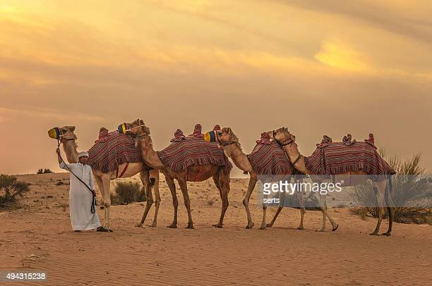 Camel train and herder in desert sunrise