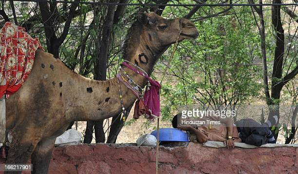 A camel used for giving rides to tourists keeps vigil as its owner rests in a shade on a sunny afternoon on April 10 2013 in Jaipur India The highest...