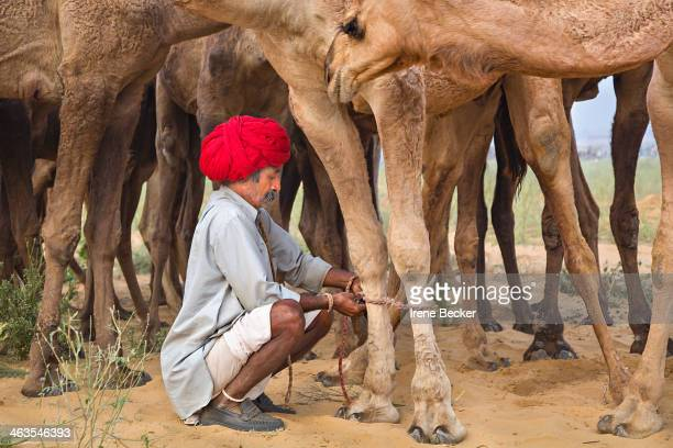 CONTENT] Camel vendor ties the feet of his camels together to stop them wandering too far Pushkar Camel Fair Rajasthan India