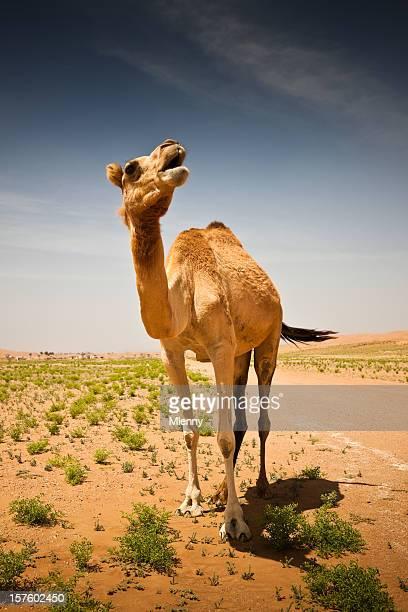 キャメルのワヒバ砂漠ベイサンズオマーンアラビア砂漠
