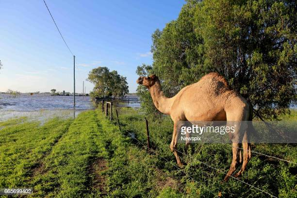 ROCKHAMPTON QLD A camel watches the rising floodwaters in Rockhampton Queensland after the Fitzroy River burst its banks in the aftermath of Tropical...