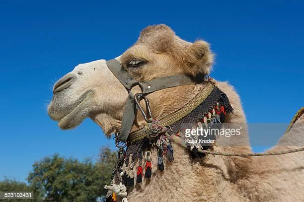 Camel with bridle, Bukhara, Uzbekistan