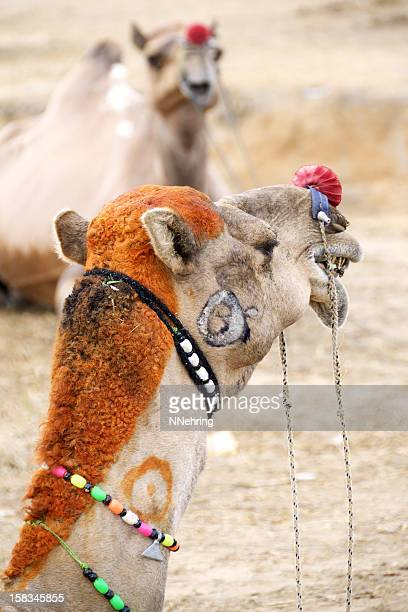 camel with dyed hair