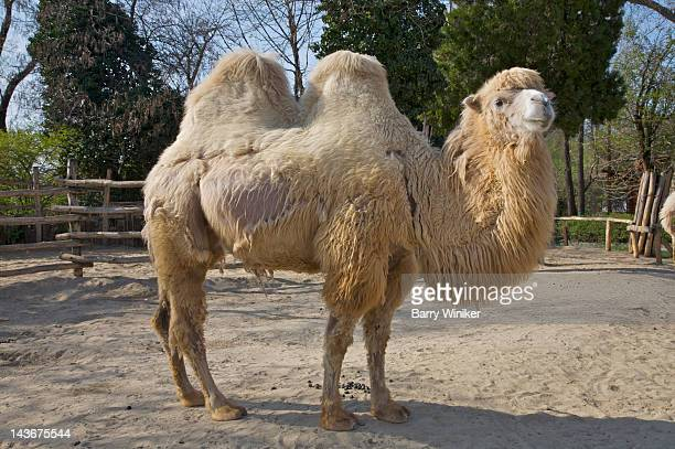 Camel with two humps standing in sand.