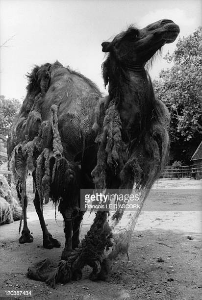 Camel zoo in Vincennes France Camel shedding fur the Vincennes Zoo Photo belonging to a series called 'Magic Animals'