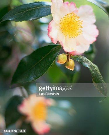 Camelia flowers : Stock Photo