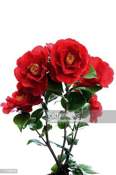 Camellia, (Camellia sinensis), close-up