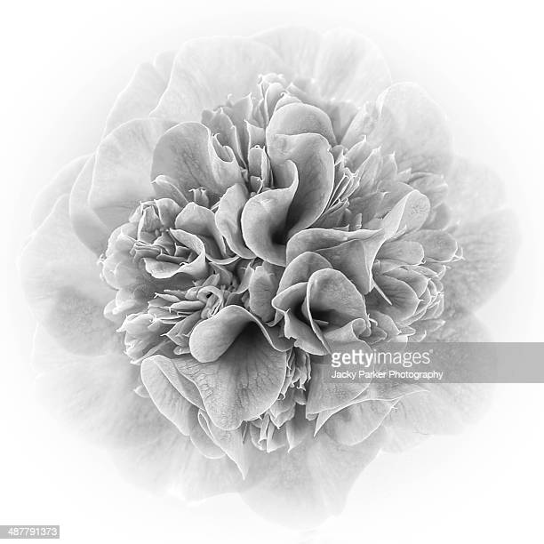 Camellia Double Flower in Monochrome