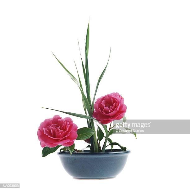 Camellia in Bowl