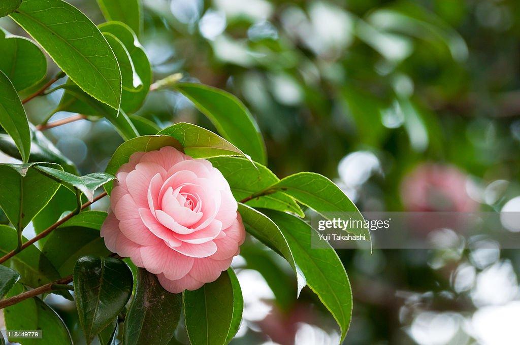 Camellia japonica stock photo getty images - Camelia fotos ...