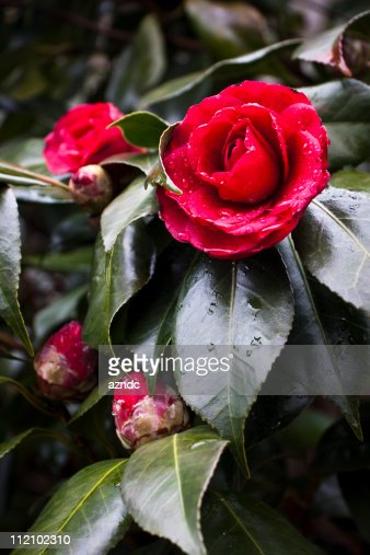 Camellia bush stock photos and pictures getty images - Camelia fotos ...