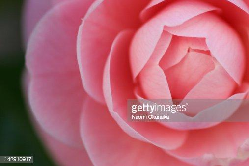 Camellia : Stock Photo