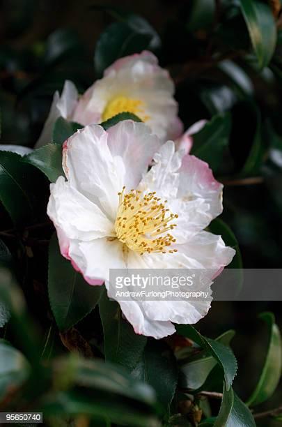 Camellia sasanqua pink flower