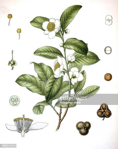 Camellia sinensis is a species of evergreen shrub or small tree whose leaves and leaf buds are used to produce tea