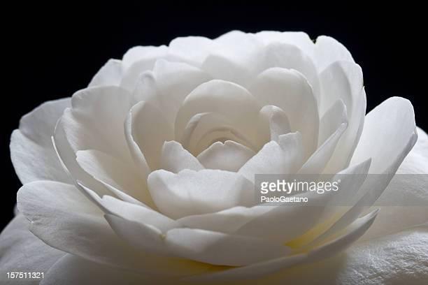 Camélia-flor branca