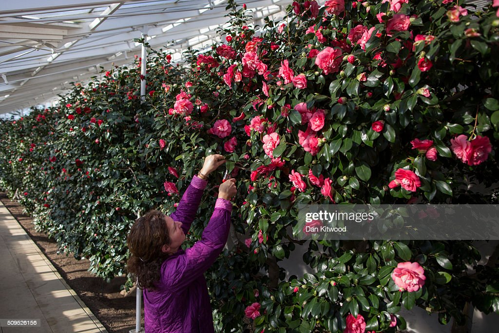 Camellias are pruned in the conservatory at the Chiswick House Camellia Festival on February 11, 2016 in London, England. The Camellia Festival will take place in the Grade I listed conservatory from February 11 to March 23, 2016 and form part of the Chinese New Year celebrations. The 96 metre conservatory was designed by Samuel Ware for the Sixth Duke of Devonshire and completed in 1813.