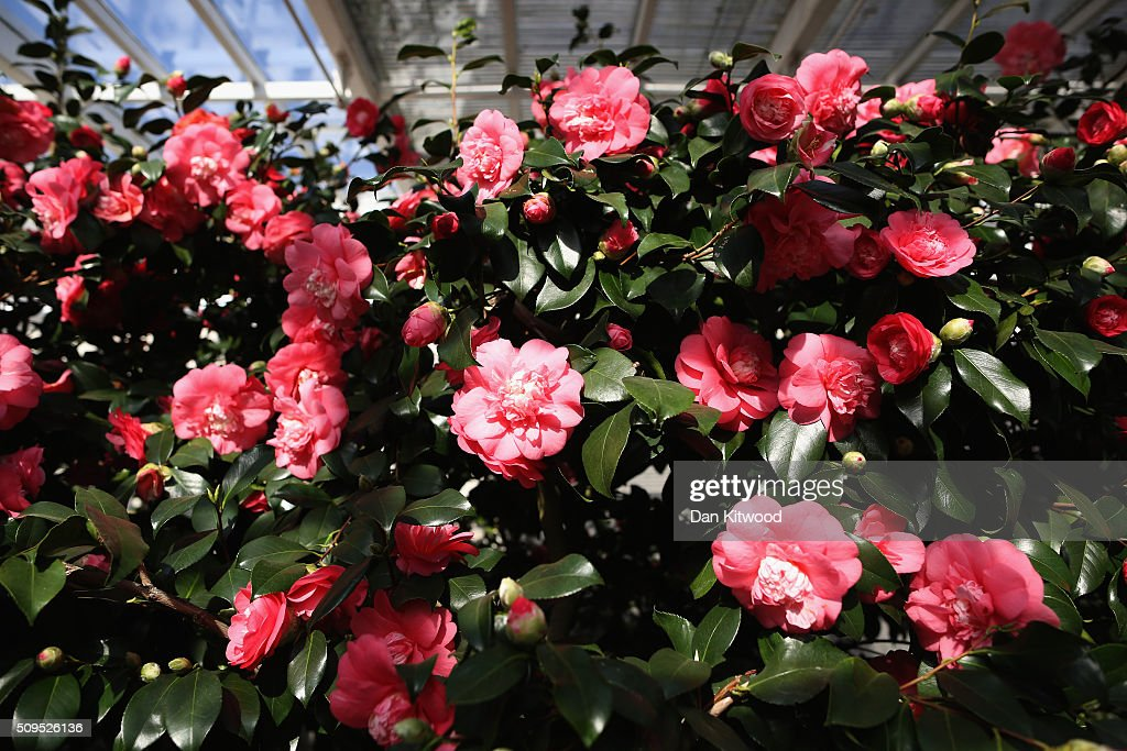 Camellias flower in the conservatory at the Chiswick House Camellia Festival on February 11, 2016 in London, England. The Camellia Festival will take place in the Grade I listed conservatory from February 11 to March 23, 2016 and form part of the Chinese New Year celebrations. The 96 metre conservatory was designed by Samuel Ware for the Sixth Duke of Devonshire and completed in 1813.