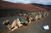Camellos en Timanfaya - Lanzarote, Islas Canarias