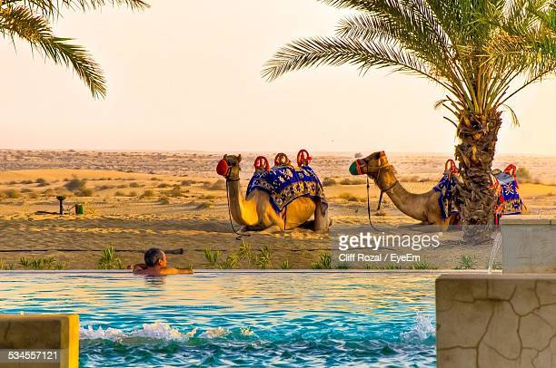 Camels And Man At Oasis In Desert
