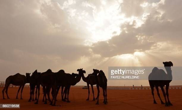 TOPSHOT Camels are seen at sunset during the annual King Abdulazziz Camel Festival in Rumah some 150 kilometres east of Riyadh on March 29 2017 The...