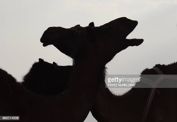 TOPSHOT Camels are seen at the annual King Abdulazziz Camel Festival in Rumah some 150 kilometres east of Riyadh on March 29 2017 The 28day King...