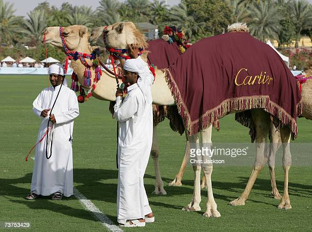 Camels are seen at the Cartier International Dubai Polo Challenge at Desert Palm Polo Club on March 30 2007 in Dubai United Arab Emirates The Cartier...