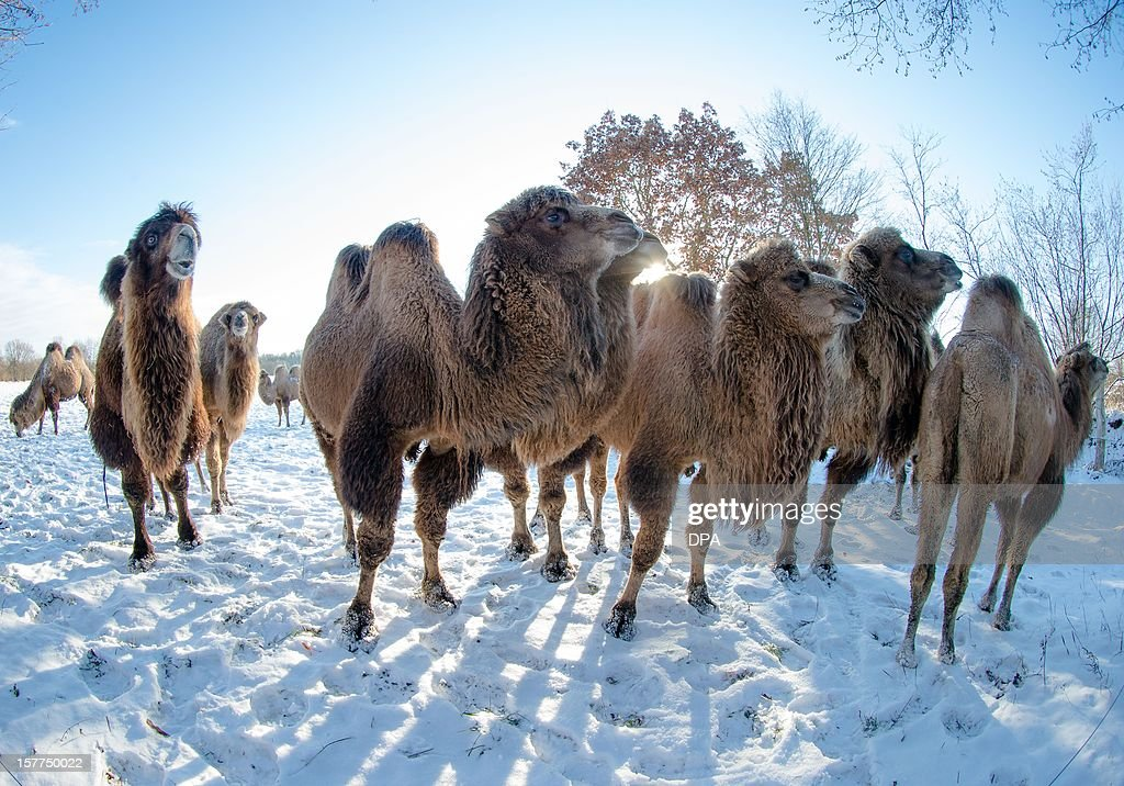 Camels are seen on a snow covered pasture in Berkenthin, northern Germany, on December 6, 2012. The owner, a veterinary and farmer, trains the animals for movie productions.