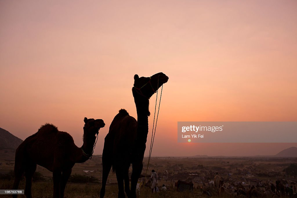 Camels are silhouetted against the setting sun during a camel fair on November 19, 2012 in Pushkar, India. The annual camel and livestock fair is held over five days, and attracts thousands of tourists.