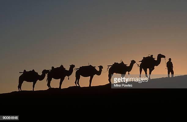camels at dawn: dunhuang  china