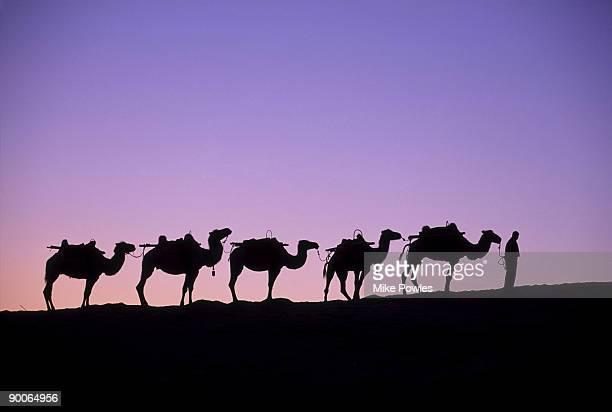 camels at dawn dunhuang, china