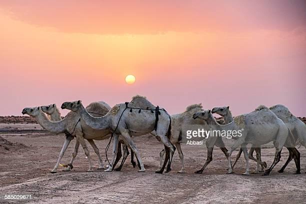 Camels at Rughabah
