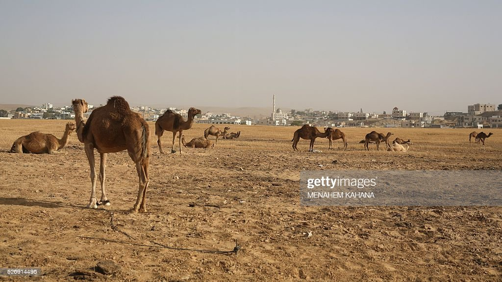 Camels belonging to Bedouins stand and rest near the southern Israeli Bedouin town of Kuseife in the Negev desert on May 1, 2016. / AFP / MENAHEM