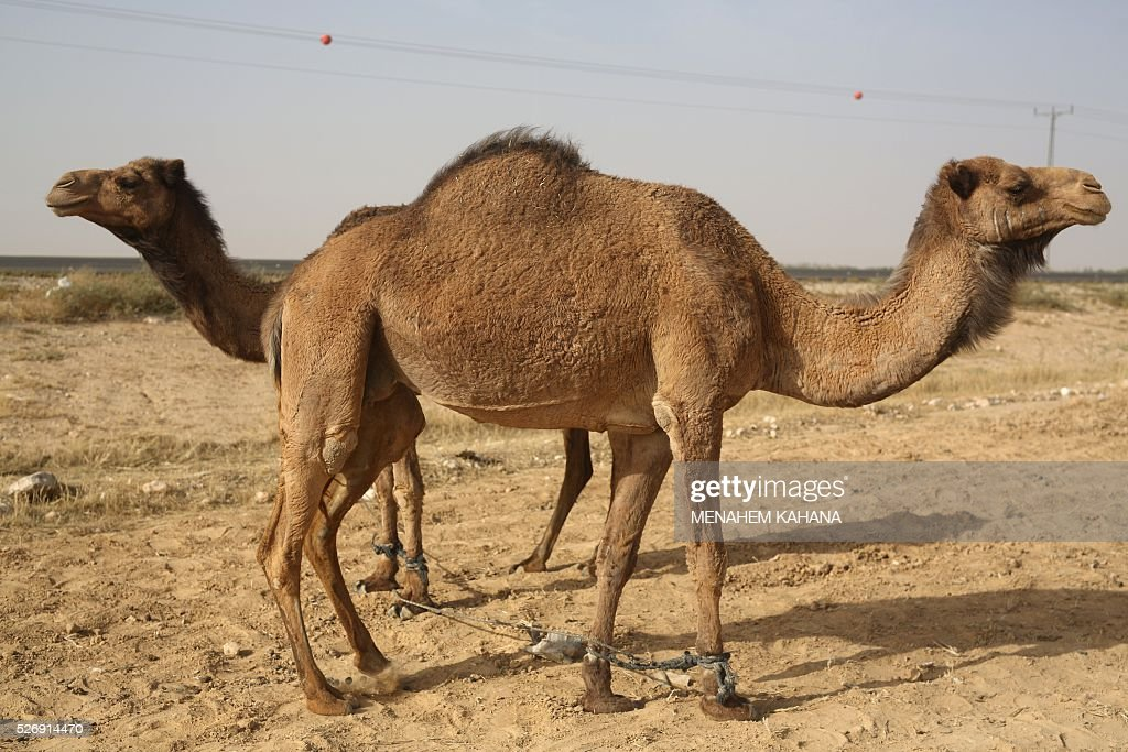 Camels belonging to Bedouins stand near the southern Israeli Bedouin town of Kuseife in the Negev desert on May 1, 2016. / AFP / MENAHEM