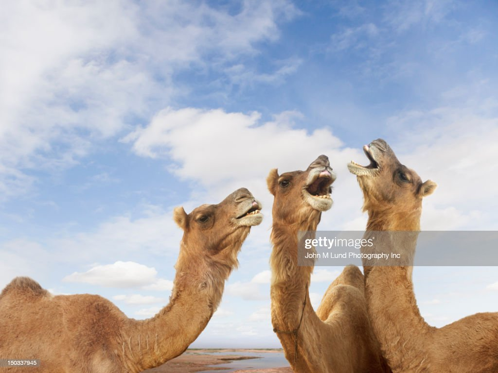 Camels braying at the Pushkar Camel Festiival, Rajasthan, India : Stock Photo