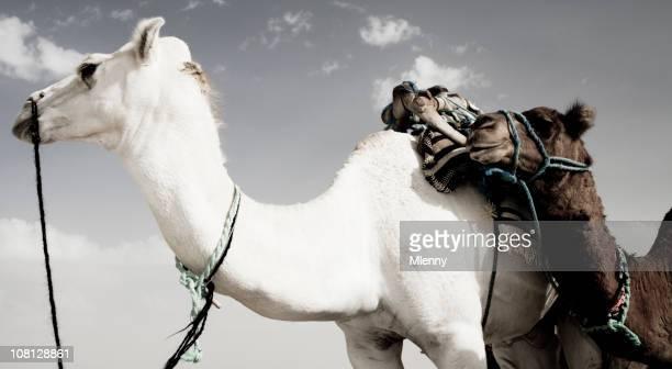 camels de dromedário panorâmica