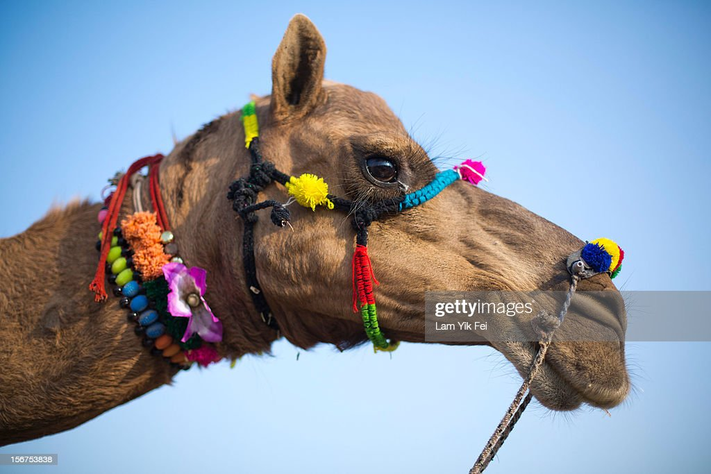 A camel's face is decorated at the Pushkar camel fair on November 19, 2012 in Pushkar, India. The annual camel and livestock fair is held over five days, and attracts thousands of tourists.