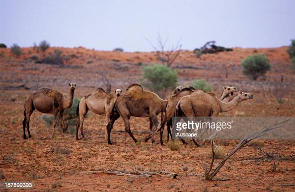 Camels feral herd Northern South Australia