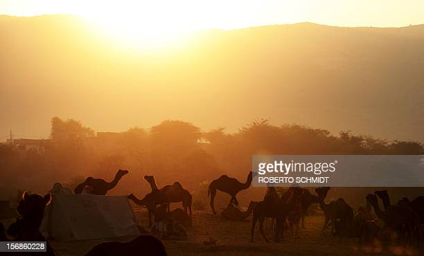 Camels for sale stand in a field at sunrise at the camel fair grounds in the outskirts of the small town of Pushkar on November 23 2012 Thousands of...