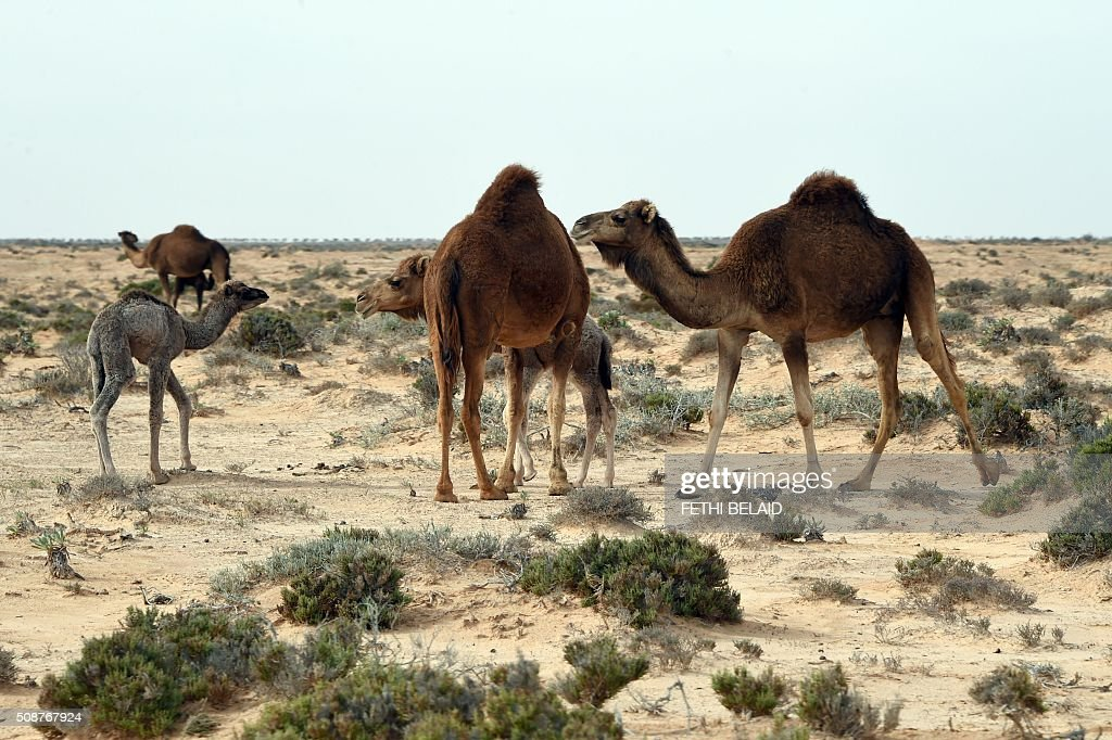 Camels gather along the Tunisia-Libya border near the Ras Jedir crossing point on February 6, 2016. / AFP / FETHI BELAID