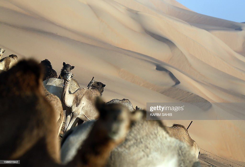 Camels gather in the Liwa desert, 220 kms west of Abu Dhabi, on the sidelines of the Mazayin Dhafra Camel Festival on December 22, 2012. The festival, which attracts participants from around the Gulf region, includes a camel beauty contest, a display of UAE handcrafts and other activities aimed at promoting the country's folklore. AFP PHOTO/KARIM SAHIB