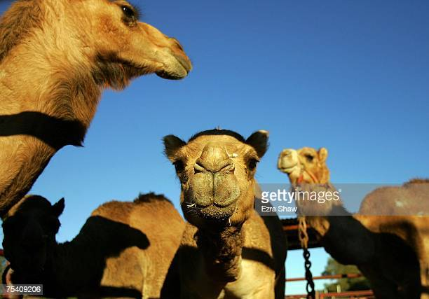 Camels gather in the pit before the start of the 2007 Camel Cup at Blatherskite Park on July 14 2007 in Alice Spirngs Australia This was the 36th...