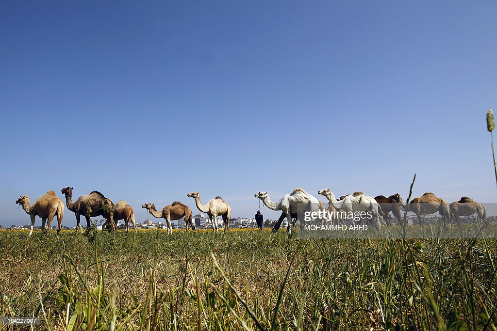 Camels graze in a field in the south of Gaza City on March 21, 2013.