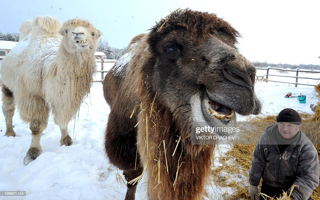 Camels graze in a snow covered open-air cage at the ostrich farm in the Belarus village of Kozishche, some 300 km southwest of Minsk, on January 24, 2013. AFP PHOTO / VIKTOR DRACHEV