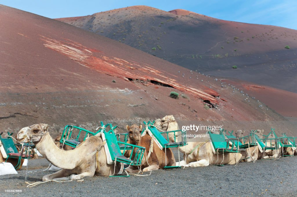 Algeria <b>Sahara Desert Camel</b> Driver With <b>Camels</b> Stock Photo | Getty ...