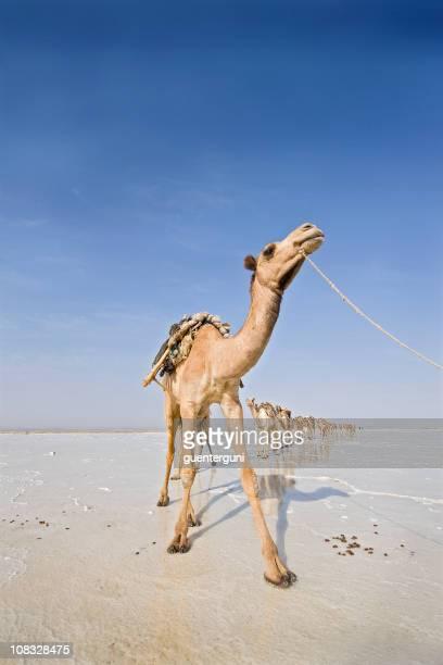 Chameaux dans un désert de sel caravanes, Danakil, Éthiopie