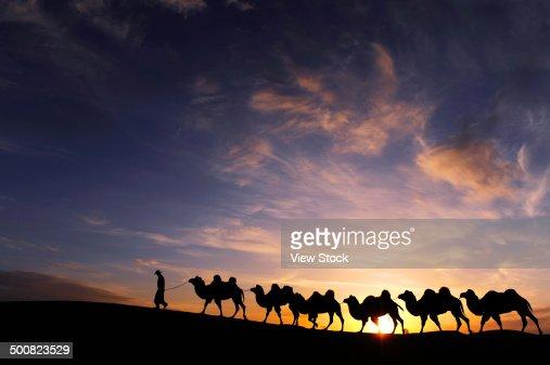 Camels in desert,Inner Mongolia,China