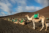 Camels in line, Lanzarote, Canary Islands, Spain