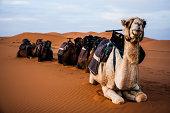 Camels in Moroccan desert